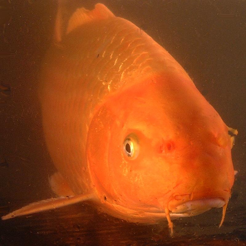 Carpes ko s lectionn es de la pisciculture carpio for Carpe koi orange