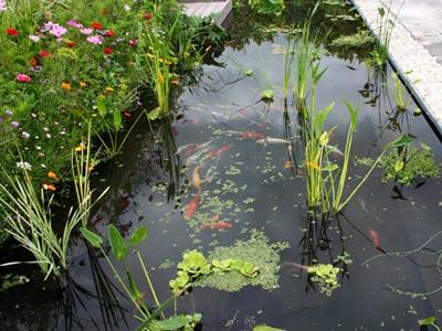 Quelques exemples de bassins d 39 agr ment pisciculture carpio for Carpe koi charente maritime